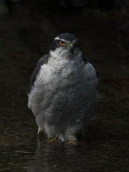Falcon, Hawk, Wildlife, Bird, Feather, Wings, Hunter