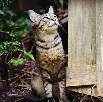 Tabby Cat, Mackerel, Animal, Feline, Domestic, Coat