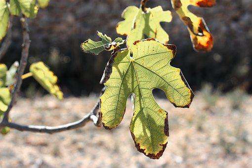 Leaves, Fig Tree, Tree, Nature, Branches, Green, Autumn