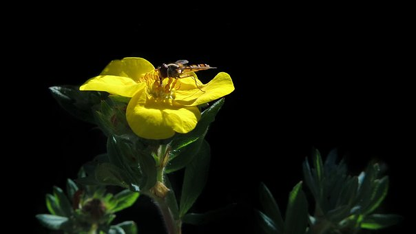 Five Finger Herb, Yellow Flower, Hover Fly, Animal