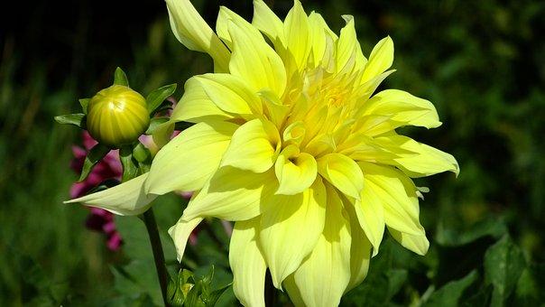 Dahlia, Flower, Flora, Petals, Yellow, Summer, Beauty