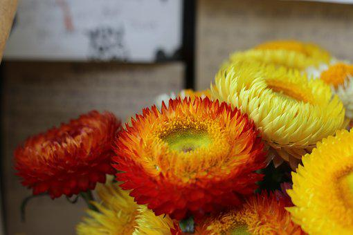 Immotal Flowers, Yellow, Flower, Vietnam, Travel, Dalat