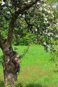 Apple Blossoms, Apple Tree, Spring, Flowers