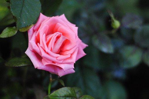 Pink Rose, Single Rose, Floral, Fresh, Garden, Blossom