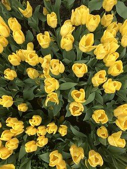 Tulips, Flowers, Garden