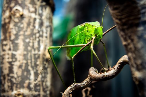 Bug, Insect, Green, Giant Katydid
