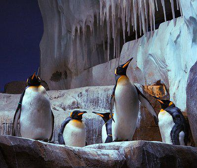 King Penguin, Penguin, Bird, Water Bird, Bill