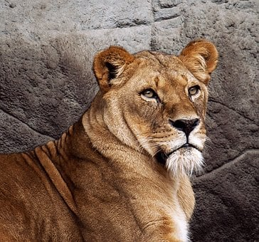 Lioness, Lion, Mammal, Animal, Animal World, Big Cat