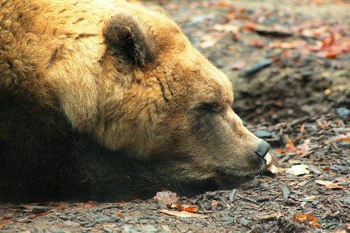 Brown Bear, Portrait, Zoo, Mammal, Hairy, Predator