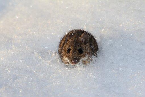 Snow, Mouse, Winter, Nature, Wildlife, Animal, Mammal
