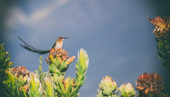Bird, Fynbos, Protea, Sugarbird, Cape Sugarbird, Nature