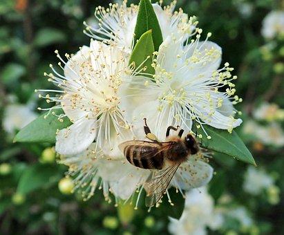 Bee, Insect, Flower, Myrtle, Pollen, Garden, Nature