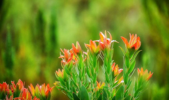 Flowers, Protea, Red, Fynbos, Nature, Bloom, Blossom