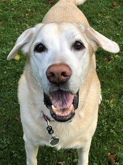 Dog, Puppy, Labrador, Stewartirvine, Sandy