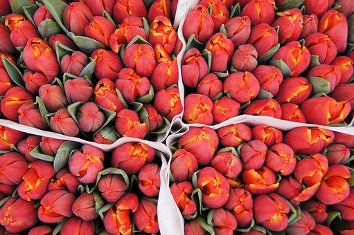 Amsterdam, Tulips, Red, Market, Holland, Garden, Dutch