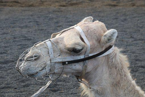Spain, Canary Islands, Lanzarote, Timanfaya, Camel