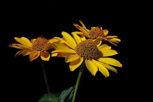 Sun Eye, Heliopsis, Yellow Flower, Flower, Plant
