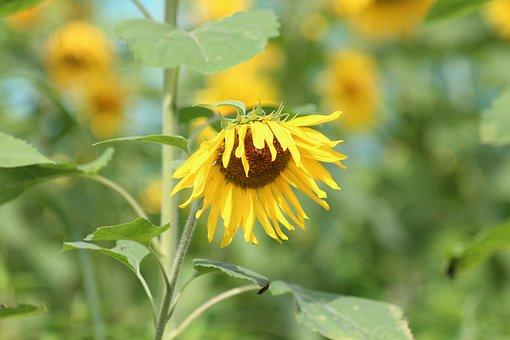 Sunflower, Plant, Flower, Summer, Yellow, Bloom, Field