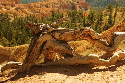 Sunset Point Gnarled Wood, Bryce, Canyon, National