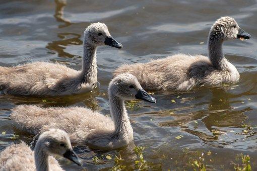 Swan, The Brood, Waterfowl