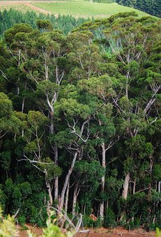 Forest, Bluegum, Trees, Eucalyptus, Outdoors, Trunks