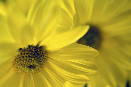 Yellow, Flower, Daises, Nature, Floral
