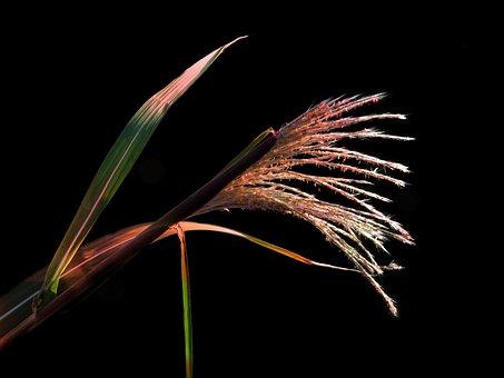 Porcupine Grass, Zebra Grass, Zebra Reed
