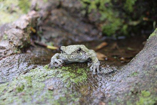 Frog, Tree Frog, Wild Life, Amphibian
