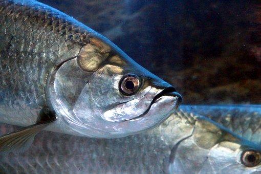 Fish, Head, Underwater, Aquarium, Sea fish, Animal