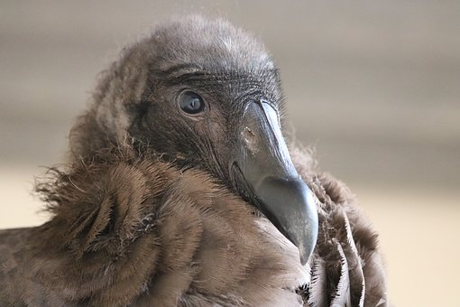 Condor, Bird, Feathers, Young, Vulture, Animal, Head