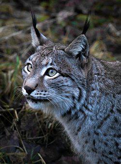 Lynx, Animal, Animal World, Nature, Cat, Wild, Predator