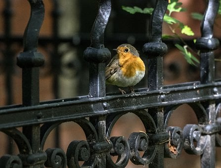 Robin, Bird, Songbird, Small Bird, Animal World