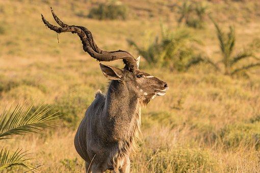 Animals, Antelope, Wild, Nature, Africa, Safari