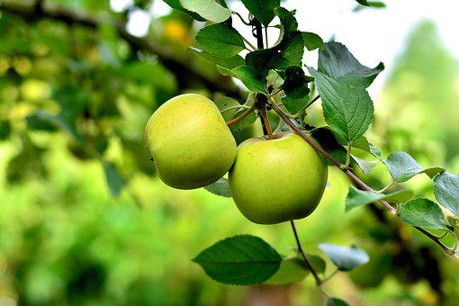 Apple, Green Apple, Apple Tree, Fruit, Healthy, Harvest