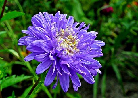 Aster, Flower, Garden, Nature, Macro, Closeup, Summer