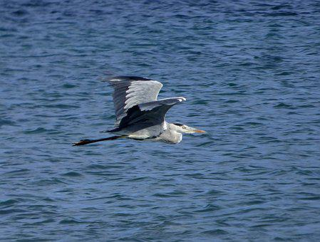 Grey Heron, Bird, Animal, Wildlife, Nature, Water