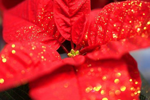 Poinsettia, Flower, Christmas, Red, Blossom, Bloom