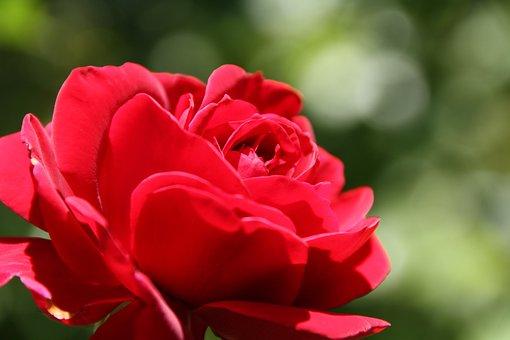 Garden, Rose, Macro, Blossom, Bloom, Plant, Bloom