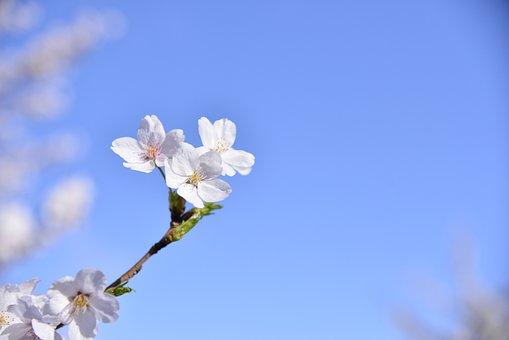 Cherry Blossom, Spring, Flowers, Wood, Cherry Tree