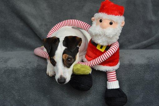 Jack Russel, Christmas, Father Christmas, Dog, Cute