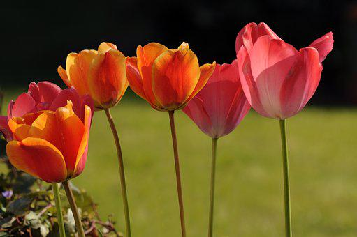 Tulip, Flower, Spring, Petal, Colorful, Garden, Nature