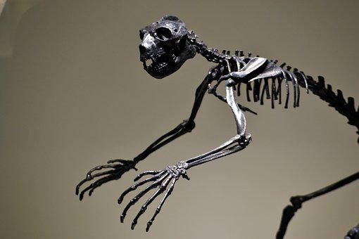 Dinosaur, Skeleton, Extinct, Fossil, Prehistoric