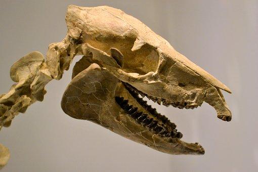 Skeleton, Dinosaur, Museum, Artifact, Fossil