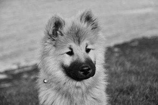 Dog, Pup, Dog Portrait, Dog Eurasier Olaf Blue