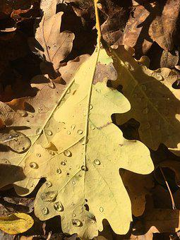 Autumn, Leaf, Dry, Yellow, Drip, Close Up