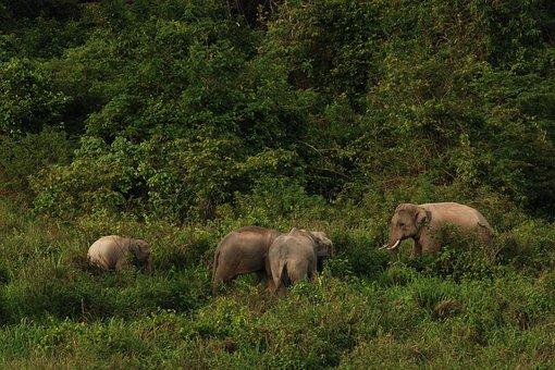 National Park, Thailand, Elephant, Wild, Kuiburi