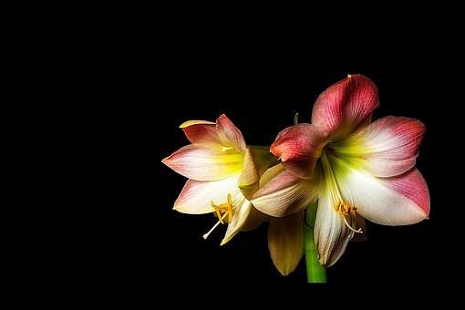 Amaryllis, Flower, Blossom, Bloom, Plant, Flora, Botany