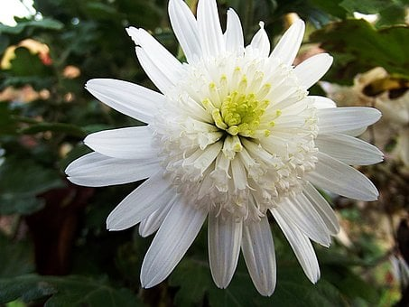 Chrysanthemum, Crazy Daisi Double, Flower