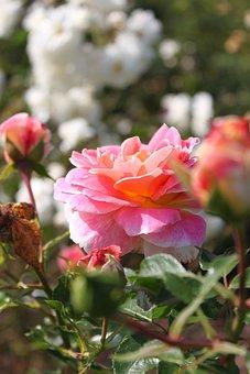 Garden, Rose, Flower, Flowers, Beauty, Romantic