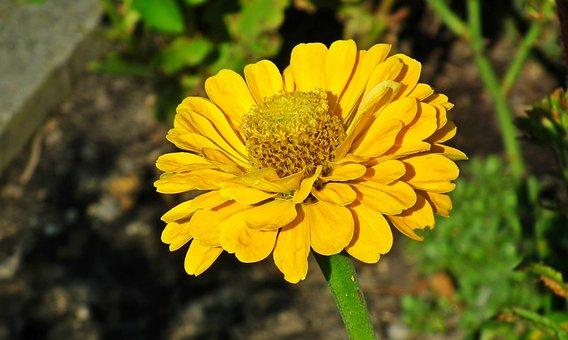 Zinnia, Flower, Yellow, Garden, Nature, Macro, Summer